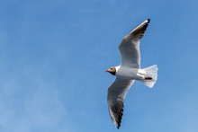 Wingspan Of Seagull In Rapid F...