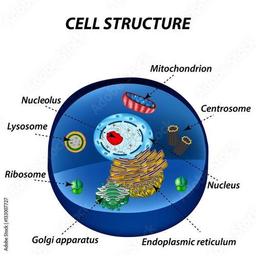 500_F_133007727_7AtHRtiSp1PGBUvjhb2kOjebvGT1qwyn structure of human cells organelles the core nucleus, endoplasmic