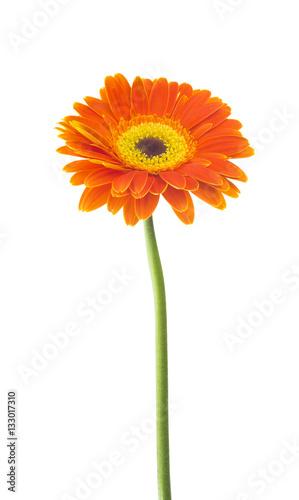 Aluminium Prints Gerbera Gerbera flower (Gerbera jamesonii) orange and yellow isolated on white background