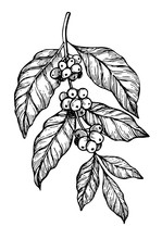 Coffee Branch Freehand Pencil Drawing