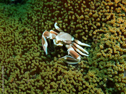 Cleaner crab