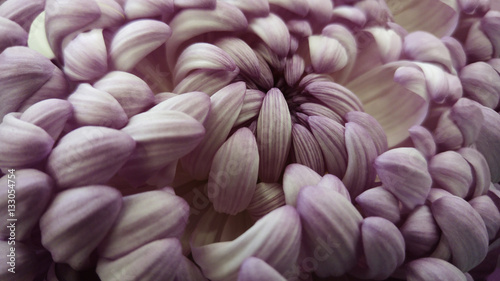 Macro. White-violet big chrysanthemum flower.   Closeup.   Pink-white  flower background. Nature.