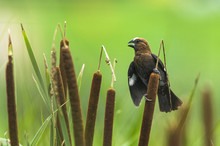 Thick-Billed Weaver Dispalying...