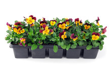 Pansy Flower Seedlings In A Tray Box On Isolated Background
