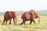 Two elephants walking