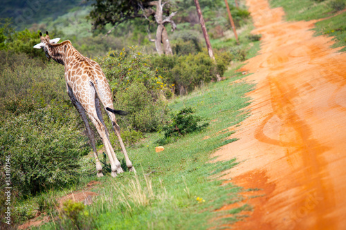 Photo  Giraffe Walking Alongside African Road Running Off Into The Distance