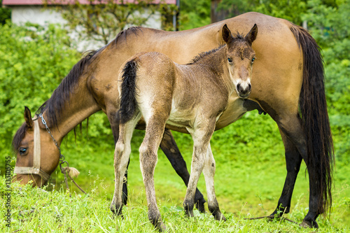 Fotografie, Obraz  small foal and mare on a rainy day in the pasture