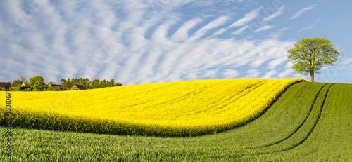 panorama-wiosenne-zielone-pole-samotne-drzewo-na-polu