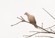 Eurasian Collared Dove Up In A...