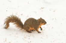 Fox Squirrel On Frozen Snow On...