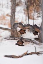 Turkeys Flying