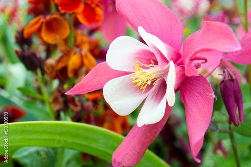 Photographie Frühlings-Schönheiten: Rosa Akeleien :)