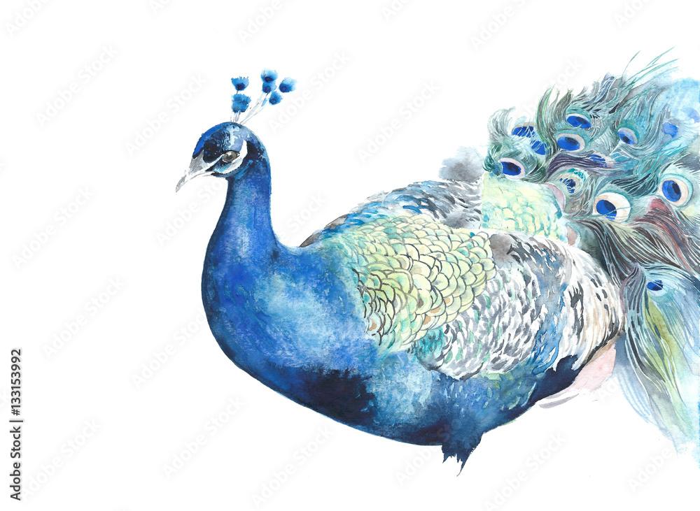 Pawia ptasia akwareli ilustracja odizolowywająca na białym tle