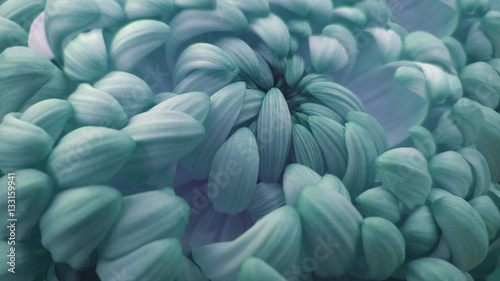 Photo Stands Macro photography Macro. turquoise-pink big chrysanthemum flower. Closeup. Nature.