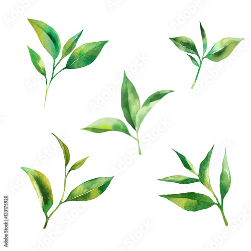 Canvas Prints Condiments Tea leaves watercolor as design element. Green tea branch in hand drawn watercolor style. Tea background for paper, textile and wrapping