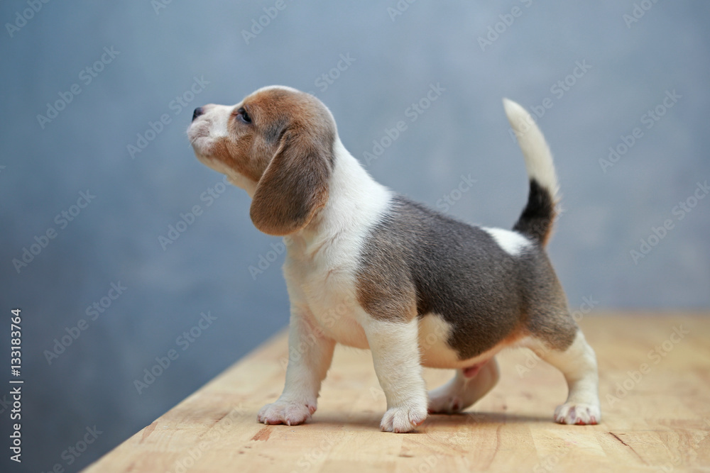Fototapety, obrazy:  cute beagle puppy  in action