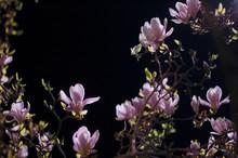 Albero Magnolia Color Rosa In Fiore,  Di Notte, Sfondo Nero