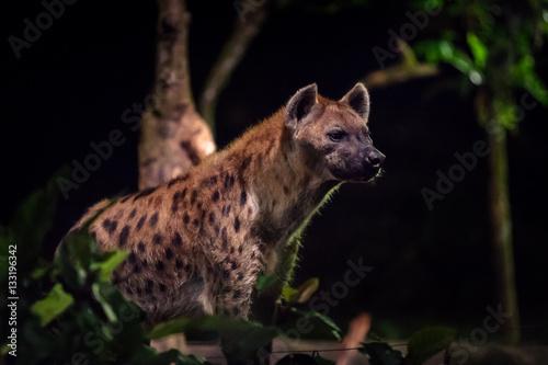 Poster Hyène Side view of one hyena