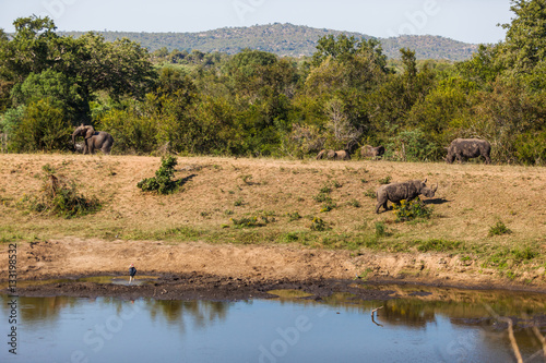 Fotografie, Tablou  Elephant and Rhino face off at a watering hole in the Kruger park, South Africa
