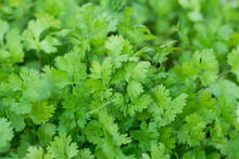 Patterns Of Coriander Leaves. Coriander Is Loaded With Antioxida