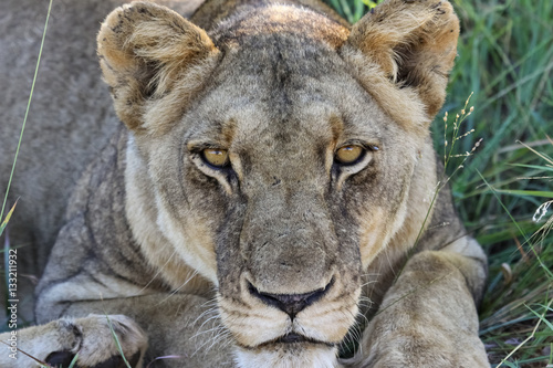 Deurstickers Luipaard Close up portrait of lioness, Kruger National Park, South Africa
