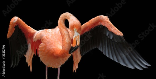 Flamingo showing off its wings