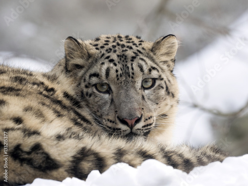 female snow leopard Uncia uncia, watching snowy surroundings