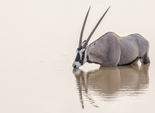Oryx Drinking At Sunset In Eto...