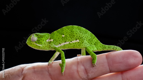 Fotoposter Kameleon Flap necked chameleon sitting on a hand, Kruger National Park, South Africa