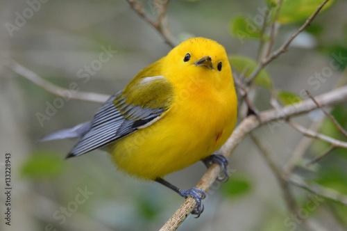 Fotografía Prothonotary Warbler