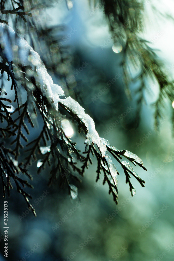 Background for Christmas cards - fir branch with snow in a winter
