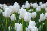 Fototapeta Tulipany - Many white tulips in garden close. Summer decorative flower. Natural plantation floral. Purity and freshness of the petals.