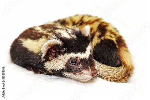 Obraz na plátne Marbled polecat (Vormela peregusna) on white background.