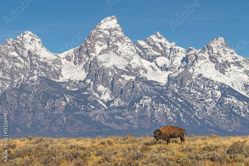 Fototapeta Lone Bison Grazing With Grand Tetons Backdrop