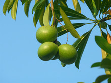 Three Green Pong-Pong Tree Fruits With Green Leaves Against Sunny Blue Sky