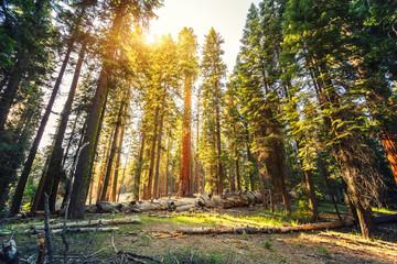 Stara sekvoja u Nacionalnom parku Sequoia