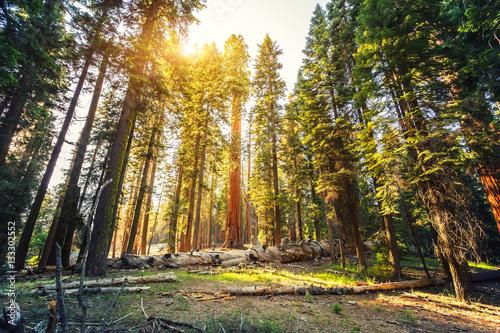 Fotografía  Old redwood  in Sequoia National Park