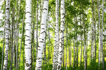 Naklejka summer in sunny birch forest