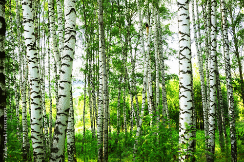 Deurstickers Bossen summer in sunny birch forest