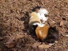 Cute Little Guinea Pigs