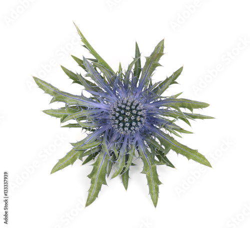 Fototapeta Sea holly thistles