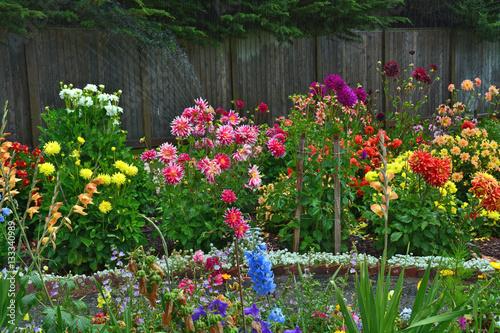 Poster de jardin Dahlia Colorful dahlia garden in summer