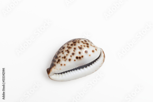 The shell of a type of sea snail called a cowrie or cowry