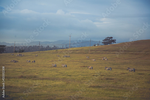 In de dag Inspirerende boodschap Landscape, USA, America, Zebra, zebras, California, nature, wildlife, horse, horses, sky, grass, herd, a herd of zebras, wire