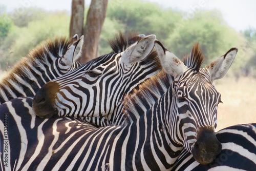 Aluminium Prints Zebra Zebras African safari