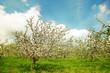 Leinwanddruck Bild Blossoming apple orchard in spring