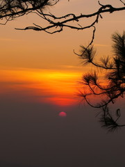 sunset through pine tree