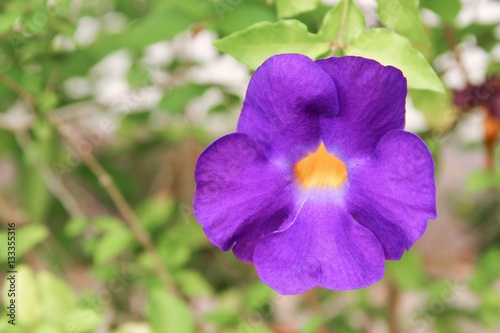 Fotografie, Obraz  Close up flower purple Thunbergia erecta (Benth.)  Anderson