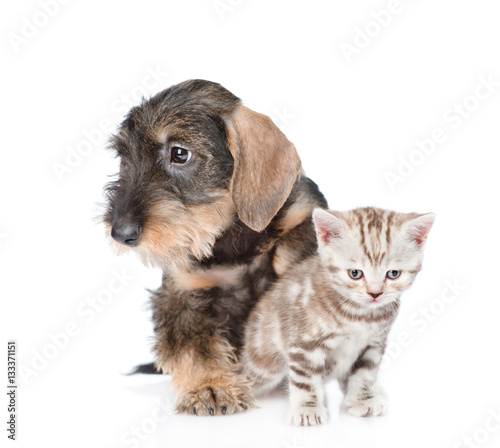 Deurstickers Franse bulldog Wire-haired dachshund puppy hugging tiny kitten. isolated on whi