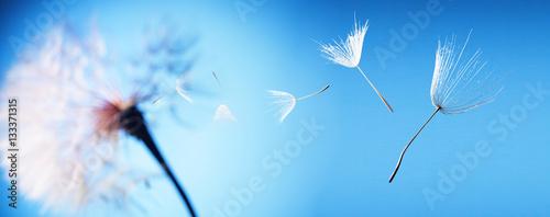 Poster Pissenlit flying dandelion seeds on a blue background
